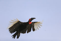 Southern Ground Hornbill (Bucorvus leadbeateri) Stock Images