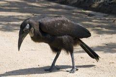 Southern ground hornbill (Bucorvus leadbeateri) royalty free stock photo