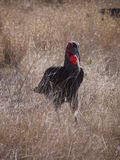 Southern ground hornbill. (Bucorvus leadbeateri) Kruger National Park, South Africa Stock Photos