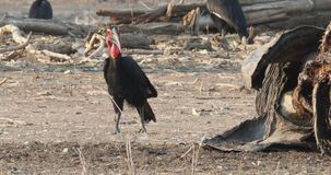 Southern Ground-Hornbill - Bucorvus leadbeateri next to the elephant carrion, formerly Bucorvus cafer, largest hornbill worldwide