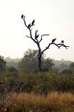 Southern ground hornbill (Bucorvus leadbeateri)  Royalty Free Stock Photos