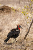 Southern ground hornbill Bucorvus leadbeateri Walking Through Savannah, South Africa. Kruger Park royalty free stock photo
