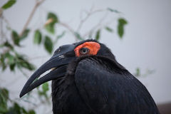 Southern ground hornbill (Bucorvus leadbeateri). Stock Image