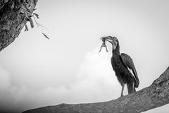 A Southern ground hornbill with a kill. Royalty Free Stock Photo