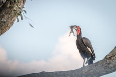 A Southern ground hornbill with a kill. Royalty Free Stock Photos