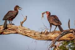 Southern ground hornbill with a kill. Stock Image