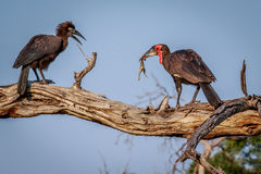 Southern ground hornbill with a kill. Royalty Free Stock Images