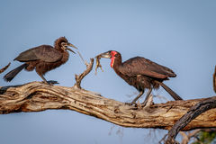 Southern ground hornbill with a kill. Stock Photo
