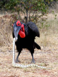 Southern Ground hornbill killing snake. Male Southern ground hornbill killing puffadder snake in south African bush veld Royalty Free Stock Image