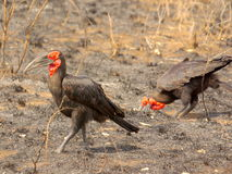 Southern african birds. Southern ground-hornbill at KNP Royalty Free Stock Photo