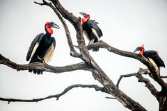 Southern ground hornbill in the Kruger National Park, South Afri Stock Images