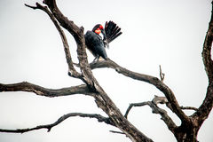 Southern ground hornbill in the Kruger National Park, South Afri Royalty Free Stock Photos