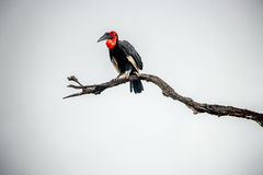 Southern ground hornbill in the Kruger National Park, South Afri Royalty Free Stock Image