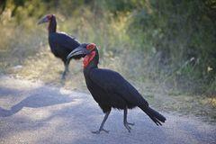 Southern Ground Hornbill Stock Image