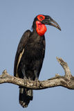 Southern Ground-Hornbill royalty free stock photography