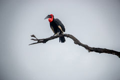 Southern ground hornbill in the Kruger National Park, South Africa. Stock Image