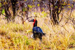 Southern Ground Hornbill in Kruger National Park in South Africa. Southern Ground Hornbill between Phlaborwa and Letaba in Kruger National Park  in South Africa Stock Images