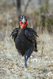Southern Ground-Hornbill in Kruger National park, South Africa Royalty Free Stock Photos