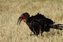 The Southern Ground Hornbill Stock Photos