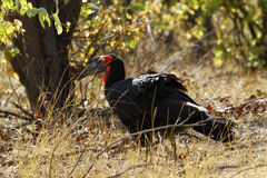The Southern Ground Hornbill Royalty Free Stock Image