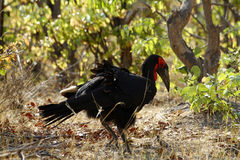 The Southern Ground Hornbill Stock Image