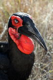 Southern ground hornbill male in the bushveld. In the Kruger National Park, South Africa on June, 2014 Royalty Free Stock Photos