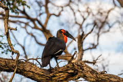 Southern Ground Hornbill perched on a tree Royalty Free Stock Photos