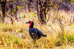 Southern Ground Hornbill in Kruger National Park in South Africa. Southern Ground Hornbill between Phlaborwa and Letaba in Kruger National Park  in South Africa Stock Photography