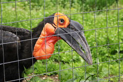 Southern Ground Hornbill. stock photography