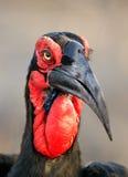 Southern Ground Hornbill portrait Stock Photos