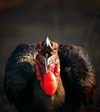 Southern Ground Hornbill swallowing a seed Stock Images