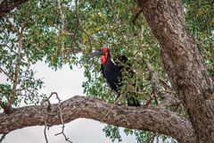 Southern ground hornbill in a tree. Stock Image