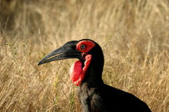 Southern Ground-Hornbill. The Hornbill was walking in the Kruger Nat Park aside the road Stock Photo