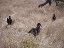 Southern ground hornbills. (Bucorvus leadbeateri) Kruger National Park, South Africa Stock Photos
