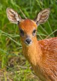Southern Grysbok Royalty Free Stock Photos