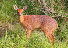 Southern Grysbok Stock Photo