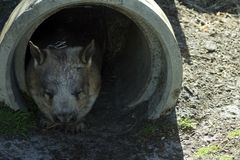 Southern Hairy Nosed Wombat, Albany, WA, Australia royalty free stock images
