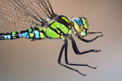 Southern Hawker. Close up portrait stock images