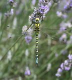 Southern hawker Royalty Free Stock Photography