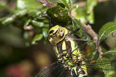 Southern Hawker Stock Photo
