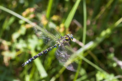 Southern Hawker Royalty Free Stock Image
