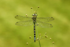Southern hawker or aeshna, Aeshna cyanea. Male on stem, Midlands, UK Royalty Free Stock Images