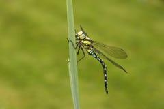 Southern hawker or aeshna, Aeshna cyanea. Male on stem, Midlands, UK Stock Image