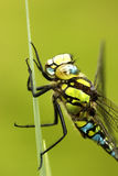 Southern hawker or aeshna, Aeshna cyanea Royalty Free Stock Photo