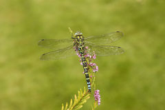Southern hawker or aeshna, Aeshna cyanea Royalty Free Stock Photography
