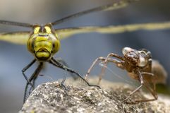 Southern hawker Aeshna cyanea dragonfly with exuvia, head on. Female insect in the order Odonata, family Aeshnidae, alongside shed larval skin royalty free stock images
