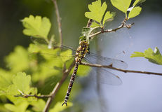 Southern Hawker Royalty Free Stock Images