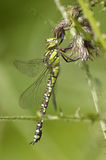 Southern Hawker Royalty Free Stock Photos
