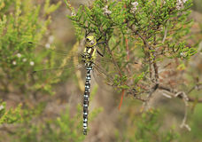 Southern Hawker Stock Photography