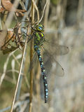 Southern hawker - Aeshna cyanea stock images
